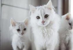 Ankara Kedisi Özellikleri Nelerdir Yavru Beyaz Ankara Kedisinin Bakımı Nasıl Yapılır