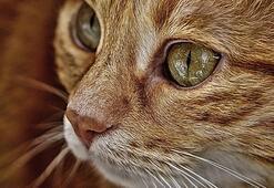 Tekir Kedisi Özellikleri Nelerdir Yavru Tekir Kedisinin Bakımı Nasıl Yapılır