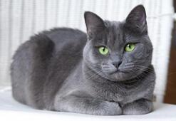 Mavi Rus Kedisi Özellikleri Nelerdir Yavru Russian Blue Kedisinin Bakımı Nasıl Yapılır