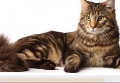 Manks Kedisi Özellikleri Nelerdir Yavru Kuyruksuz Manx Kedisinin Bakımı Nasıl Yapılır