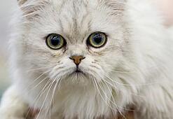 Tiffanie Kedisi Özellikleri Nelerdir Yavru Chantilly Kedisinin Bakımı Nasıl Yapılır