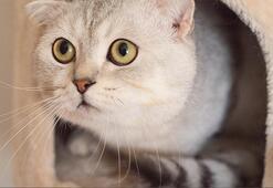 Scottish Fold Özellikleri Nelerdir Yavru İskoçya (İskoç) Kedisinin Bakımı Nasıl Yapılır