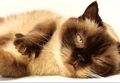 British Shorthair Özellikleri Nelerdir Yavru Blue Point İngiliz Kedisinin Bakımı Nasıl Yapılır