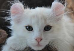 American Curl Özellikleri Nelerdir Yavru American Curl (Kıvrık Kulak) Kedisinin Bakımı Nasıl Yapılır