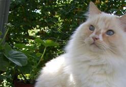 Ragamuffin Özellikleri Nelerdir Yavru Ragamuffin Kedisinin Bakımı Nasıl Yapılır
