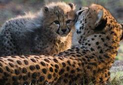 WWF: Yaban hayvanlarının nüfusu 50 yılda yüzde 68 azaldı