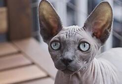 Sfenks Kedisi Özellikleri Nelerdir Yavru Tüysüz Sphynx Mısır Kedisinin Bakımı Nasıl Yapılır
