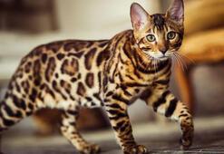 Bengal Kedisi Özellikleri Nelerdir Yavru Leopar Desenli Bengal Kedisinin Bakımı Nasıl Yapılır