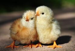 Falda Civciv Görmek Ne Demek Kahve Falında Civciv Şekli Çıkması Ne Anlama Gelir