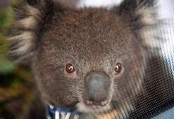 Avusturalyada koala savaşı hükümeti böldü