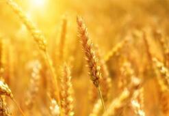 Dünya Buğday Üretim Haritası: Dünyanın En Çok Buğday Üreten Ülkeleri Hangileridir