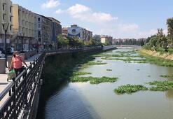 Asi Nehride su sümbülleri yine görülmeye başladı
