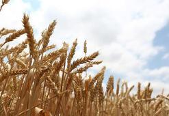 Türkiye Buğday Üretim Haritası: Buğday Nerede Yetişir İl İl En Çok Buğday Ekimi Yapılan Bölgeler