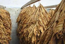 Türkiye Şeker Pancarı Üretim Haritası: Şeker Pancarı En Çok Hangi İllerde (Bölgelerde) Yetişir
