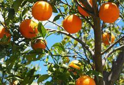 Türkiye Portakal Üretim Haritası: Portakal Nerelerde Yetişir İl İl En Çok Portakal Yetiştirilen Bölgeler