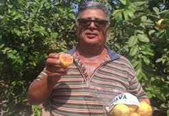 Hediye fidanla başladı Guava üretimini 1500 ağaçla sürdürüyor