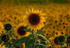 Bafra Ovasında ayçiçeği hasadı başladı