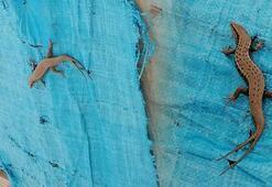 Şırnakta çift kuyruklu benekli kertenkele görüntülendi