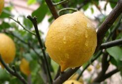 Türkiye Limon Üretim Haritası: Limon Nerelerde Yetişir İl İl En Çok Limon Yetiştirilen Bölgeler