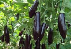 Türkiye Patlıcan Üretim Haritası: Patlıcan Nerelerde Yetişir İl İl En Çok Patlıcan Yetiştirilen Bölgeler
