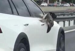 Trafikte ilginç anlar... Martı çarptığı otomobil aynasına sıkıştı