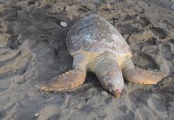 Mersinde denizde ölü caretta caretta bulundu