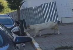 Keçinin boynuz darbeleriyle otomobile zarar verdiği anlar kamerada