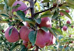Elmada bu yıl rekolte beklentisi 850 bin ton