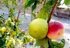 Bilim insanları bu meyve karşısında şaşkın