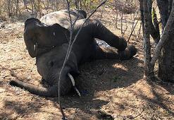 Gizemli hastalıktan ölen fillerin sayısı 34e yükseldi