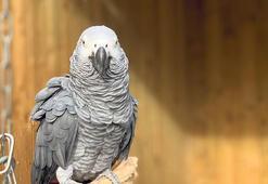 Küfürbaz papağanlar