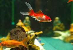 Japon balıklarının daha uzun yaşaması için ne yapmalı