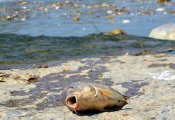 Ölen balıkları, evlerine götürüp yediler