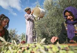 Gazzede zeytin hasadı başladı