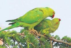 Papağanların güç mücadelesi