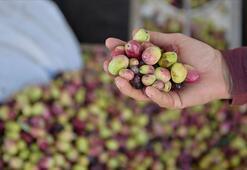 Sofralık zeytin ihracatında rekor