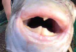 Japon şef anlattı: Zehirli balon balığını sertifikası olmayan yapamaz