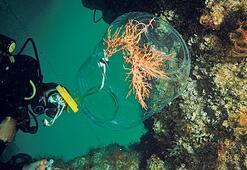 Marmara Denizi'ne mercan tarlası