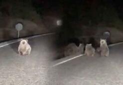 Tunceli'de 4 boz ayı yola indi