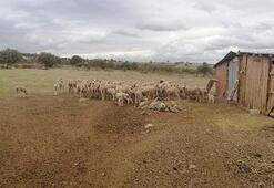 Hayvanlarda çiçek hastalığı çıktı; 15 köy karantinaya alındı