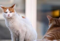 Kediler Kaç Ayda (Kaç Günde) Doğurur Kedilerde Hamilelik Belirtileri