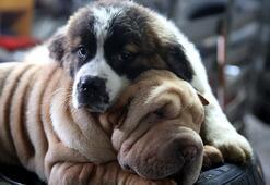 Köpekler Kaç Ayda Doğum Yapar Köpeklerde Hamilelik Belirtileri Nelerdir