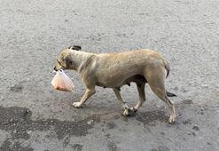Köpekten annelik dersi...Lokanta sahibinin verdiği yemeği poşet içinde yavrularına taşıyor