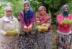 AB tescilli kestanede hasat dönemi