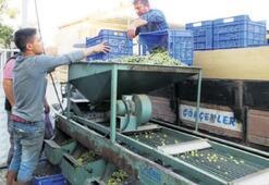 Yeşil zeytinde üretici fiyattan memnun