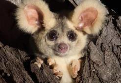 Avustralyada iki yeni memeli türü keşfedildi