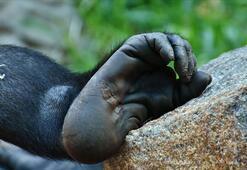 Nesli tükenme tehdidinde olan yeni bir primat türü keşfedildi