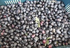 Burhaniye'de zeytin üreticinin yüzünü güldürdü