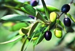 Zeytinin Faydaları Nelerdir Zeytin Çekirdeği Ve Zeytin Sütü Neye İyi Gelir