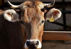 Süt Ve Besi Hayvancılığı Bölümü Nedir, Dersleri Nelerdir Mezunu Ne İş Yapar